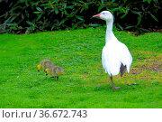 Gänsekücken im Gras mit Muttertier. Стоковое фото, фотограф Zoonar.com/Bildagentur Geduldig / easy Fotostock / Фотобанк Лори