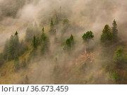 Mysterious arolla pine forest growing on a hillside in mountains covered... Стоковое фото, фотограф Zoonar.com/Jakub Mrocek / easy Fotostock / Фотобанк Лори