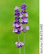 Lavendel, Lavendula, angustifolia. Стоковое фото, фотограф Zoonar.com/Manfred Ruckszio / easy Fotostock / Фотобанк Лори