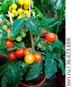Topftomate Ist eine Gemuesepflanze, die auch im gezogen werden kann. Стоковое фото, фотограф Zoonar.com/Manfred Ruckszio / easy Fotostock / Фотобанк Лори