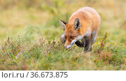 Focused red fox, vulpes vulpes, hunting on a green meadow and sniffing... Стоковое фото, фотограф Zoonar.com/Jakub Mrocek / easy Fotostock / Фотобанк Лори