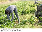 Men picking harvest of green spinach to crates outdoor. Стоковое фото, фотограф Яков Филимонов / Фотобанк Лори