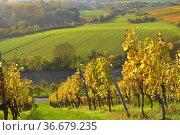 BW. bei Kürnbach bunte Weinberge im Herbst, Wein und Felderlandschaft... Стоковое фото, фотограф Zoonar.com/Bildagentur Geduldig / easy Fotostock / Фотобанк Лори