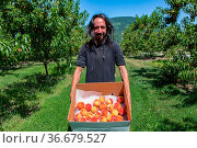 Happy caucasian man with long hair in peaches orchard. he holds cardboard... Стоковое фото, фотограф Zoonar.com/VALMEDIA / easy Fotostock / Фотобанк Лори