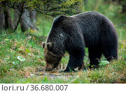 Dominant brown bear, ursus arctos, male drinking water from stream... Стоковое фото, фотограф Zoonar.com/Jakub Mrocek / easy Fotostock / Фотобанк Лори