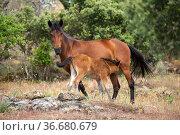 Wild Garrano horse (Equus ferus caballus) mare suckling her foal,... Стоковое фото, фотограф Kristel Richard / Nature Picture Library / Фотобанк Лори