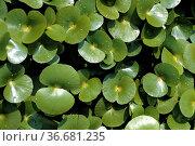 Regnellidium diphyllum, Wasserpflanzen. Стоковое фото, фотограф Zoonar.com/Manfred Ruckszio / age Fotostock / Фотобанк Лори