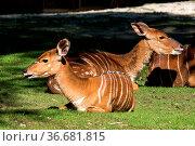 Indian Blackbuck, Antelope cervicapra or Indian antelope. The blackbuck... Стоковое фото, фотограф Zoonar.com/Rudolf Ernst / age Fotostock / Фотобанк Лори