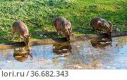 Patagonian Mara, Dolichotis patagonum. These large relatives of guinea... Стоковое фото, фотограф Zoonar.com/Rudolf Ernst / age Fotostock / Фотобанк Лори