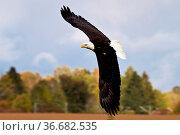 The bald eagle lat. haliaeetus leucocephalus is a bird of prey found... Стоковое фото, фотограф Zoonar.com/Rudolf Ernst / age Fotostock / Фотобанк Лори
