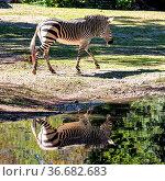 The Hartmann's mountain zebra, Equus zebra hartmannae is a subspecies... Стоковое фото, фотограф Zoonar.com/Rudolf Ernst / age Fotostock / Фотобанк Лори