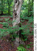 Alter Baum, baum, wald, alt, frühling, sommer, natur, landschaft,... Стоковое фото, фотограф Zoonar.com/Volker Rauch / easy Fotostock / Фотобанк Лори