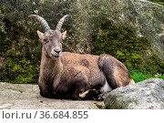 Male mountain ibex - capra ibex in the zoo. Стоковое фото, фотограф Zoonar.com/Rudolf Ernst / easy Fotostock / Фотобанк Лори