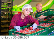 Portrait of positive woman with peaches in her hands next to fruit sorting line. Стоковое фото, фотограф Яков Филимонов / Фотобанк Лори