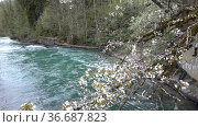 A branch of a plum blossom over a mountain river with clear blue water. Spring awakening of nature in Abkhazia on Lake Ritsa. Редакционное видео, видеограф Наталья Гармашева / Фотобанк Лори