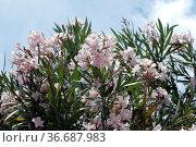 Oleander, Nerium, Oleander, Giftpflanze, Wildpflanzen, Стоковое фото, фотограф Zoonar.com/Manfred Ruckszio / age Fotostock / Фотобанк Лори