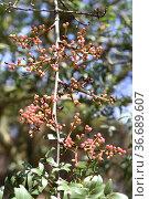 Almacigo de Canarias or Mount Atlas mastik tree (Pistacia atlantica... Стоковое фото, фотограф J M Barres / age Fotostock / Фотобанк Лори