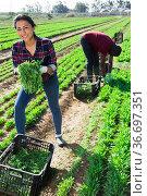 Latino woman cuts fresh arugula and puts in a crate. Стоковое фото, фотограф Яков Филимонов / Фотобанк Лори