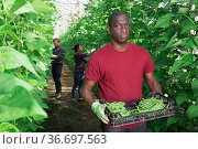 African american horticulturist carrying bean in crates in glasshouse. Стоковое фото, фотограф Яков Филимонов / Фотобанк Лори