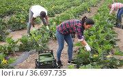 Hired workers harvest zucchini on farm plantation. Стоковое видео, видеограф Яков Филимонов / Фотобанк Лори