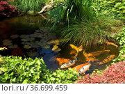 Gartenteich, Koi, japanischer, Garten, Стоковое фото, фотограф Zoonar.com/Manfred Ruckszio / age Fotostock / Фотобанк Лори