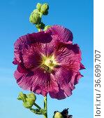 Stockrose, Althaea rosea. Стоковое фото, фотограф Zoonar.com/Manfred Ruckszio / age Fotostock / Фотобанк Лори