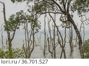 The mangrove tree area in the Bako National Park, Sarawak, East Malaysia... Стоковое фото, фотограф Chua Wee Boo / age Fotostock / Фотобанк Лори