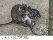 Long-Tailed Macaque Monkey Macaca fascidularis, Bako National Park... Стоковое фото, фотограф Chua Wee Boo / age Fotostock / Фотобанк Лори