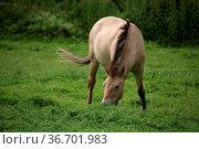 Erwachsenes Tier dieser sehr gefährdeten Wildpferdrasse. Стоковое фото, фотограф Zoonar.com/Martina Berg / easy Fotostock / Фотобанк Лори