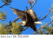 An American bald eagle flies off from a tree ins earch of food near... Стоковое фото, фотограф Zoonar.com/Gregory Johnston Photography / easy Fotostock / Фотобанк Лори