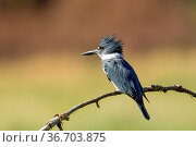 A cute little kingfisher is perched on a branch near Hauser Lake,... Стоковое фото, фотограф Zoonar.com/Gregory Johnston Photography / easy Fotostock / Фотобанк Лори