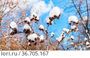 Panoramic view of snow-covered capitula of burdock close-up in forest... Стоковое фото, фотограф Zoonar.com/Valery Voennyy / easy Fotostock / Фотобанк Лори