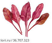 Several fresh leaves of red Chard leafy vegetable (mangold, beet tops... Стоковое фото, фотограф Zoonar.com/Valery Voennyy / easy Fotostock / Фотобанк Лори