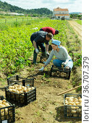 Farmer team picking potatoes. Стоковое фото, фотограф Яков Филимонов / Фотобанк Лори