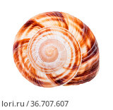 Helix shell of burgundy snail isolated on white background. Стоковое фото, фотограф Zoonar.com/Valery Voennyy / easy Fotostock / Фотобанк Лори