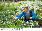 Man horticulturist during gardening with white camomile in pots. Стоковое фото, фотограф Яков Филимонов / Фотобанк Лори