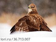 Fierce common buzzard, buteo buteo, protecting the prey with wings... Стоковое фото, фотограф Zoonar.com/Jakub Mrocek / easy Fotostock / Фотобанк Лори