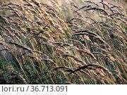 Rotschwingel. Стоковое фото, фотограф Zoonar.com/Martina Berg / easy Fotostock / Фотобанк Лори