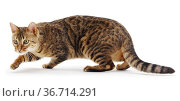 Profile of shorthair tabby cat (Felis catus) stalking / prowling. Стоковое фото, фотограф Jane Burton / Nature Picture Library / Фотобанк Лори