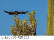 Harris's hawk (Parabuteo unicinctus) juvenile practising flying above nest in Saguaro cactus (Carnegiea gigantea), Sonoran desert, Arizona. Стоковое фото, фотограф John Cancalosi / Nature Picture Library / Фотобанк Лори