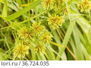 Cyperus eragrostis. Стоковое фото, фотограф Alain Kubacsi / age Fotostock / Фотобанк Лори