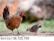 Verwilderte Henne mit Küken auf Kauai, Hawaii, USA. Feral hen with... Стоковое фото, фотограф Zoonar.com/Dirk Rueter / easy Fotostock / Фотобанк Лори
