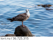 Brown gull in white speck stands on a wet stone against the blue water... Стоковое фото, фотограф Zoonar.com/Sergei Pivovarov / easy Fotostock / Фотобанк Лори