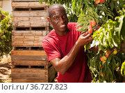 man engaged in cultivation of peaches gathering harvest. Стоковое фото, фотограф Яков Филимонов / Фотобанк Лори