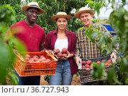 Workers have harvested peaches. Стоковое фото, фотограф Яков Филимонов / Фотобанк Лори