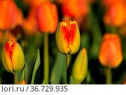 Jedes Jahr findet am Rande der Schwaebischen Alb eine farbenfrohe... Стоковое фото, фотограф Zoonar.com/Monika Scheurer / easy Fotostock / Фотобанк Лори