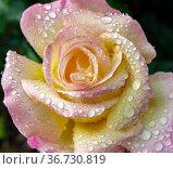 Large raindrops on the petals of a beautiful rose Gloria Dei. Стоковое фото, фотограф Олег Елагин / Фотобанк Лори