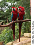 Couple of red parrots in love on tree. Стоковое фото, фотограф Zoonar.com/chris willlemsen / easy Fotostock / Фотобанк Лори