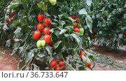 Red ripe tomatoes grow on branches in farm greenhouse. Стоковое видео, видеограф Яков Филимонов / Фотобанк Лори