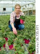 Female farmer cultivating tomatoes. Стоковое фото, фотограф Яков Филимонов / Фотобанк Лори